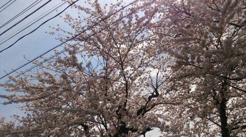160421桜2.jpg