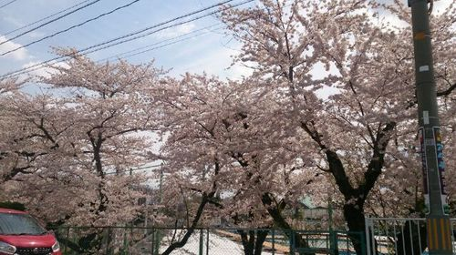 160426桜花吹雪1.jpg