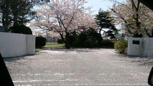 160426桜花吹雪2.jpg