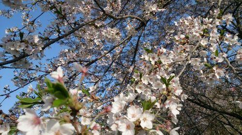 160427桜1.jpg