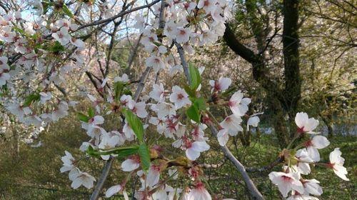160427桜3.jpg