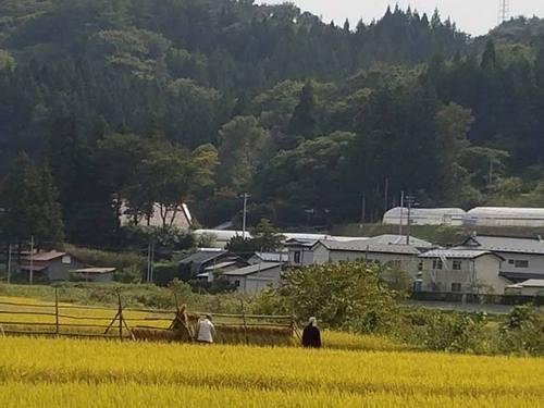 170930稲刈り1.jpg