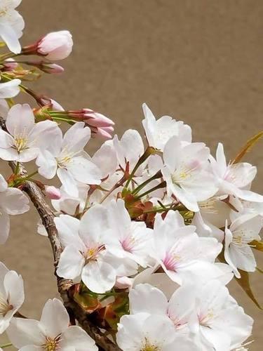 180425桜1.jpg