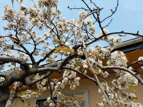 180425桜2.jpg