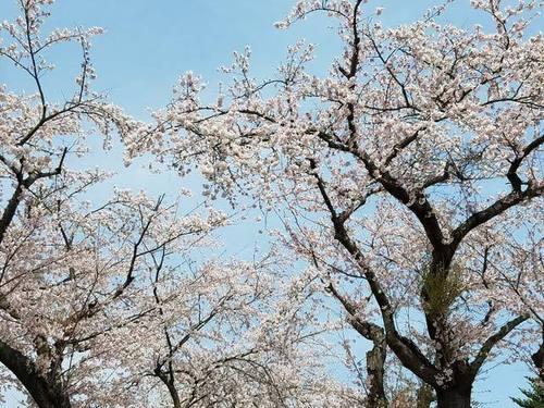 180425桜3.jpg