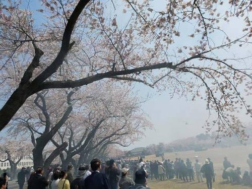 180425桜5.jpg