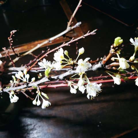 200326桃の花1.jpg