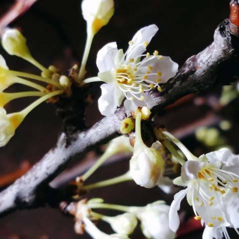 200326桃の花2.jpg